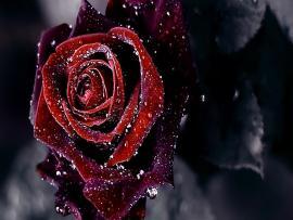 Rose Flower Hd Slides Backgrounds