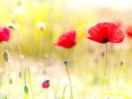 Tag Poppy Flowers Desktops PhotosImages and   Quality Backgrounds