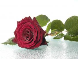Thorny Red Rose Backgrounds