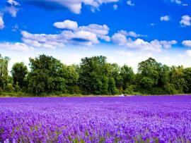 Trees Lavender Flower  Backgrounds
