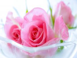 Valentines Day Pink Rose Wallpaper Backgrounds