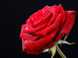 Valentines Day Red Rose Hd Backgrounds