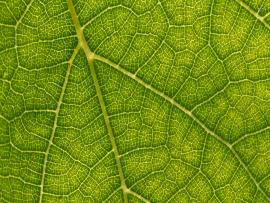 Vein Leaf image Backgrounds