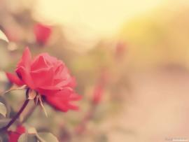 Vintage Rose Flower Backgrounds
