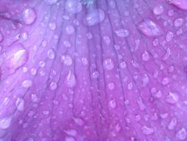 Water Drops Purple Picture Backgrounds