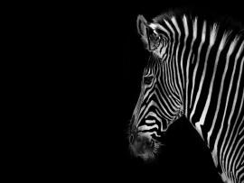 Zebra  Free Clip Art  Free Clip Art  On Clipart   Backgrounds