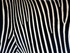 Zebra Print HD  PixelsTalk Net Graphic Backgrounds