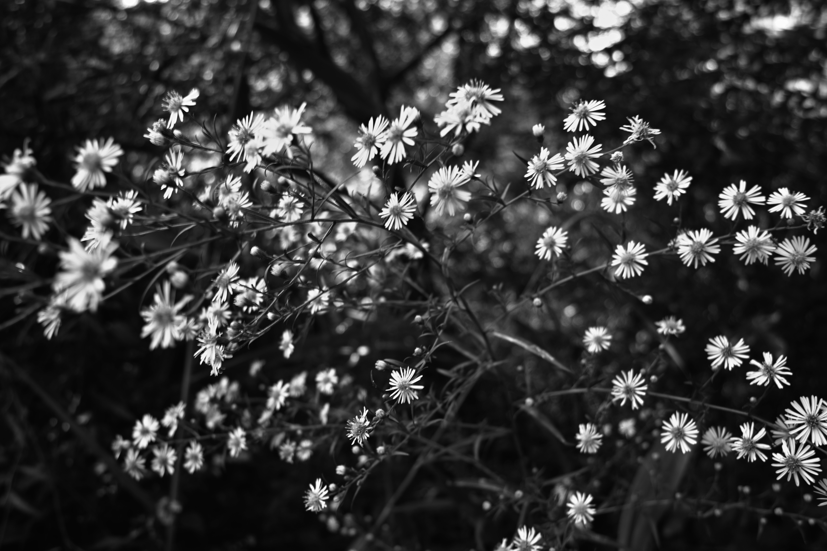 Black Flowers Spring White Flowers Images Wallpaper Backgrounds For Powerpoint Templates Ppt Backgrounds