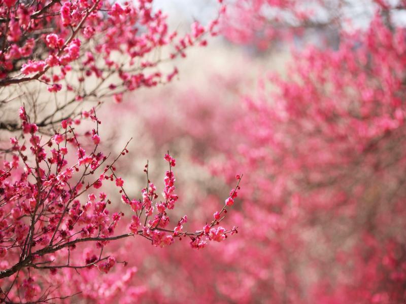 Cherry Blossom Art Backgrounds
