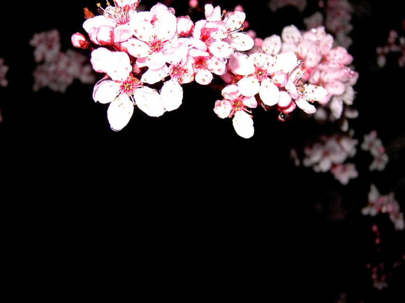 Cherry Blossom Clip Art Backgrounds