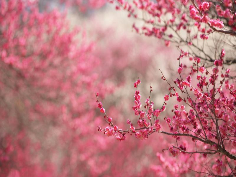 Cherry Blossom Clipart Backgrounds