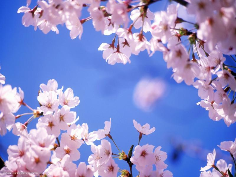 Cherry Blossom Design Backgrounds