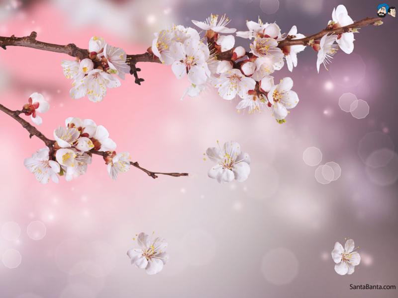 Cherry Blossom Flower Backgrounds