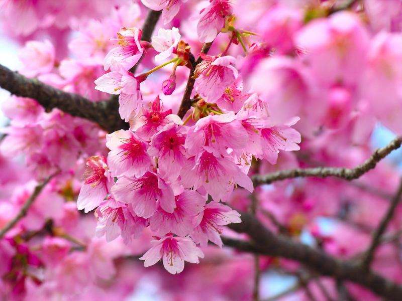 Cherry Blossom Graphic Backgrounds