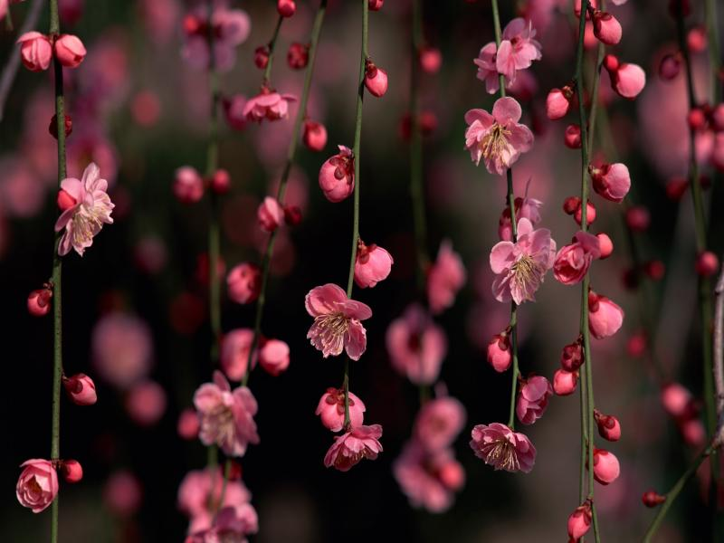 Cherry Blossom Presentation Backgrounds