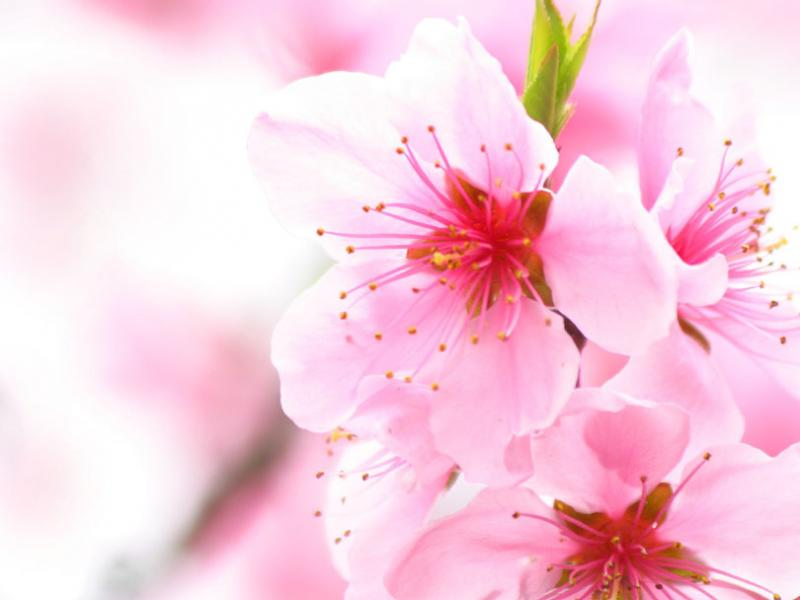 Cherry Blossom Wallpaper Backgrounds