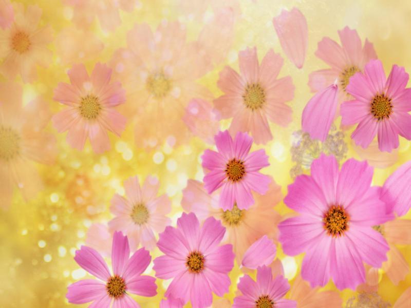 Cosmos Flowers  High QualitysWallpaper Desktop   Clipart Backgrounds