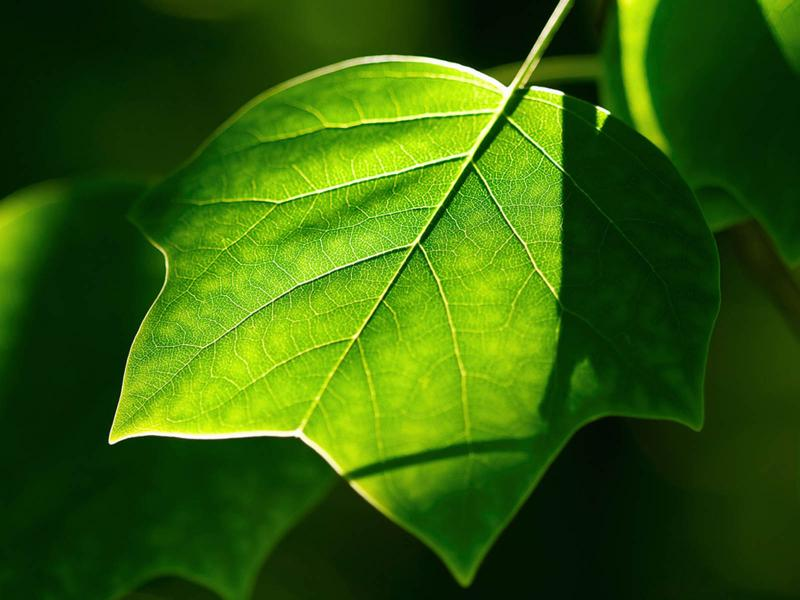 Dark Green Leaf Wallpaper Backgrounds For Powerpoint Templates Ppt