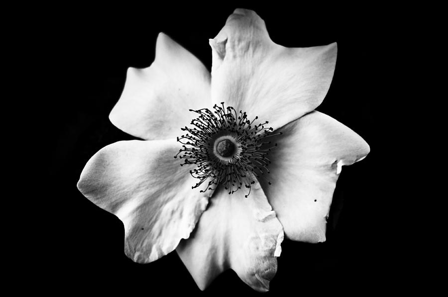 Flower Black and White Backgrounds