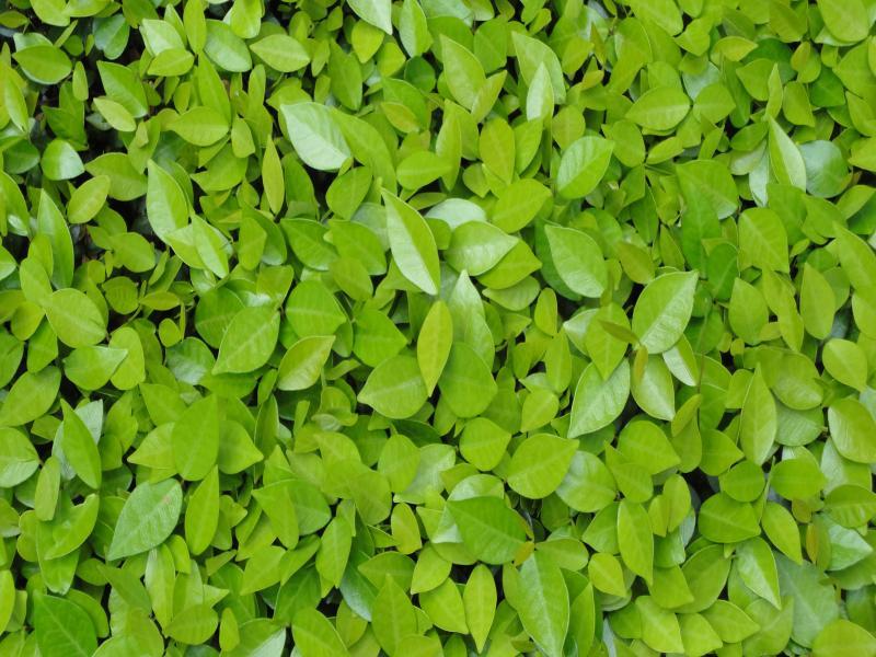 Nature Leaves Presentation Backgrounds