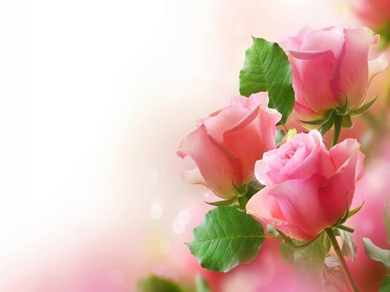 pink rose clip art backgrounds for powerpoint templates