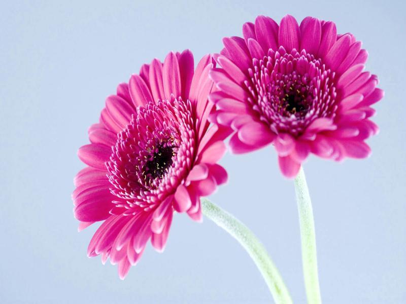 Tag Gerbera Flowerss Photos Imagesand   Clip Art Backgrounds