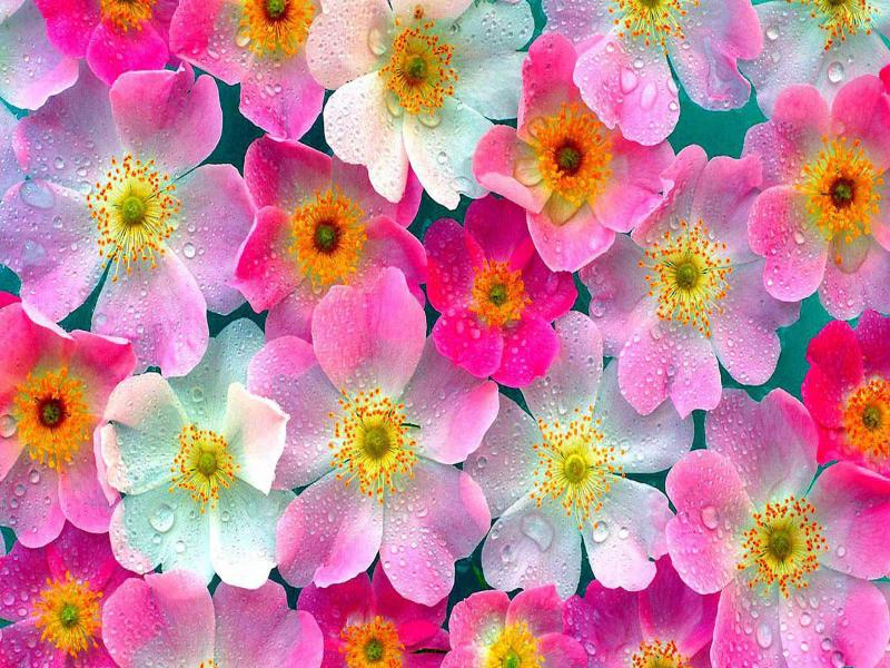 Wallpaper Flower  Rose Pictures Clipart Backgrounds
