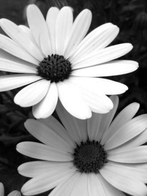 Black and white flowers daisy image ppt backgrounds